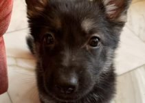East European Shepherd Dog Breed Information – All You Need To Know