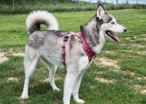 East Siberian Laika Dog Breed Information – All You Need To Know