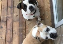 EngAm Bulldog Dog Breed Information – All You Need To Know