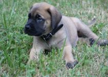Englian Mastiff Dog Breed Information – All You Need To Know