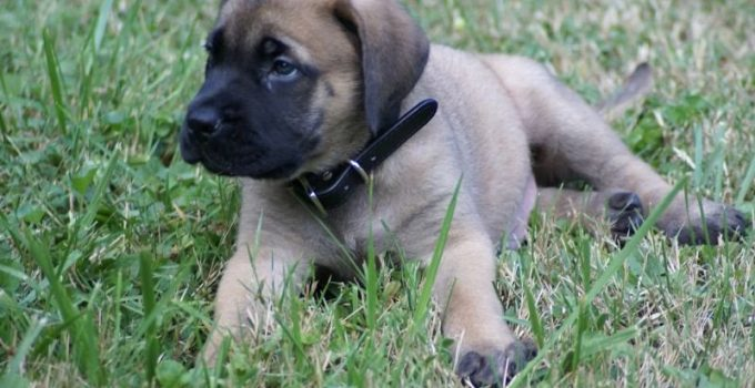 Englian Mastiff Dog Breed Information All You Need To Know