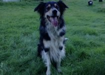 English Borsetter Collie Dog Breed Information – All You Need To Know