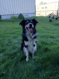English Borsetter Collie Dog Breed Information All You Need To Know