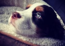 English Bull Springer Dog Breed Information – All You Need To Know