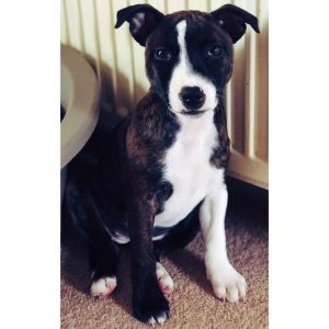 English Bull Staffy Dog Breed Information All You Need To Know