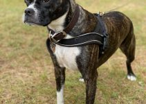 English Bulldog Terrier Dog Breed Information – All You Need To Know