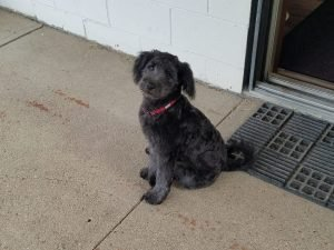 English Coonoodle Dog Breed Information All You Need To Know