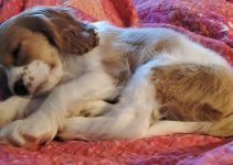 English King Dog Breed Information – All You Need To Know
