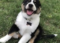 English Shepherd Dog Breed Information – All You Need To Know