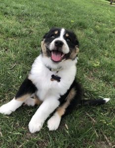 English Shepherd Dog Breed Information All You Need To Know