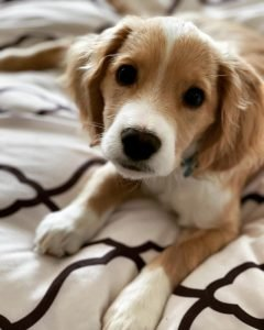 English Speagle Dog Breed Information All You Need To Know