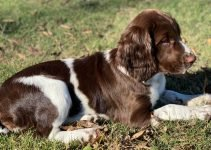 English Sprointer Dog Breed Information – All You Need To Know