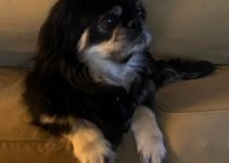 English Toy Chin Spaniel Dog Breed Information – All You Need To Know