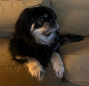 English Toy Chin Spaniel Dog Breed Information All You Need To Know