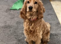 English Toy Cocker Spaniel Dog Breed Information – All You Need To Know