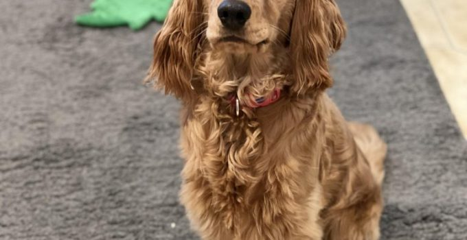 English Toy Cocker Spaniel Dog Breed Information All You Need To Know
