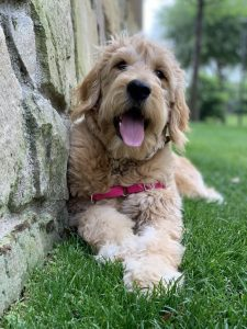 English Toy Griffon Dog Breed Information All You Need To Know