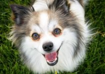 English Toy Papillon Dog Breed Information – All You Need To Know