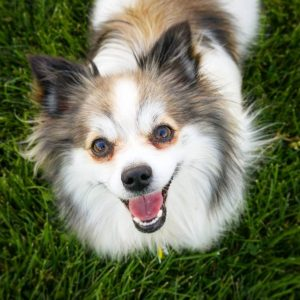 English Toy Papillon Dog Breed Information All You Need To Know