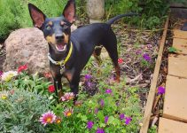 English Toy Terrier Dog Breed Information – All You Need To Know