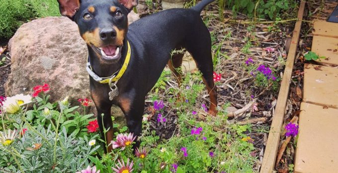 English Toy Terrier Dog Breed Information All You Need To Know