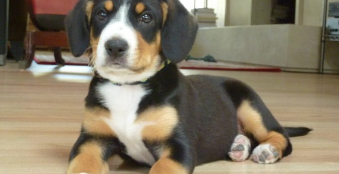 Entlebucher Pit Dog Breed Information All You Need To Know