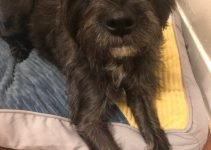 Eskimo Schnauzer Dog Breed Information – All You Need To Know