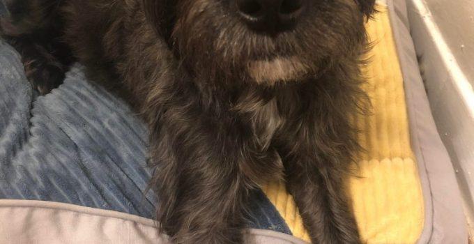 Eskimo Schnauzer Dog Breed Information All You Need To Know