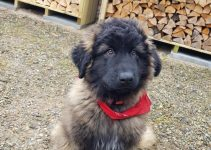 Estrela Mountain Dog Breed Information – All You Need to Know
