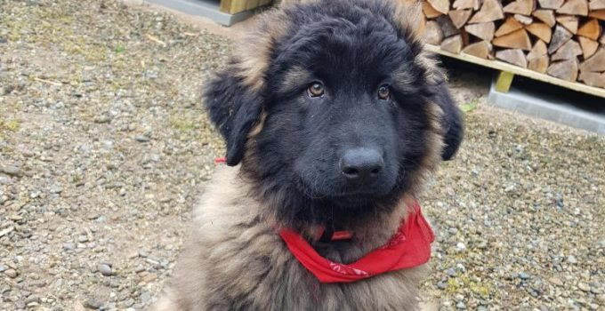Estrela Mountain Dog Breed Information All You Need To Know