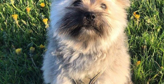 Ewokian Dog Breed Information All You Need To Know