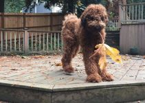 Flandoodle Dog Breed Information – All You Need To Know