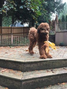 Flandoodle Dog Breed Information All You Need To Know