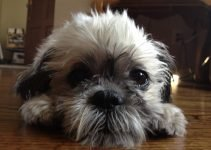 Fo-Tzu Dog Breed Information – All You Need To Know