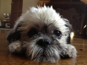 Fo Tzu Dog Breed Information All You Need To Know