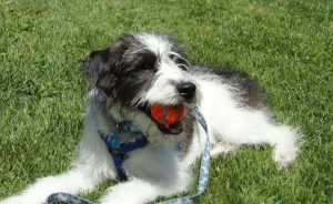 Foodle Dog Breed Information All You Need To Know