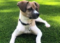 Foxingese Dog Breed Information – All You Need To Know