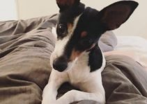 Foxy Rat Terrier Dog Breed Information – All You Need To Know
