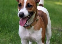 Foxy Russell Terrier Dog Breed Information – All You Need To Know