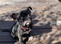 French Bull Dane Dog Breed Information – All You Need To Know