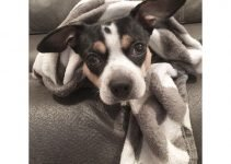 French Bull Rat Terrier Dog Breed Information – All You Need To Know