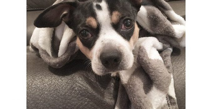 French Bull Rat Terrier Dog Breed Information All You Need To Know