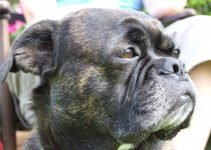 French Bull Tzu Dog Breed Information – All You Need To Know