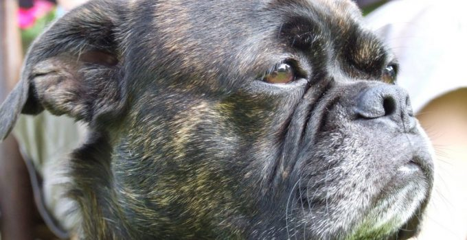 French Bull Tzu Dog Breed Information All You Need To Know