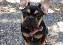 French Bullweiler Dog Breed Information – All You Need To Know