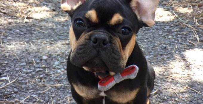 French Bullweiler Dog Breed Information All You Need To Know