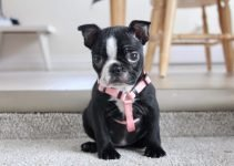 Frenchie-Pei Dog Breed Information – All You Need To Know
