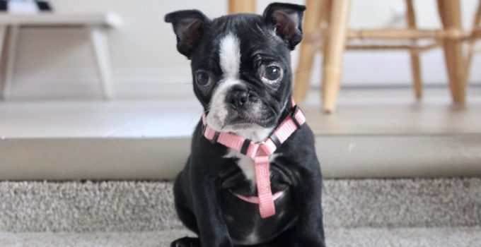 Frenchie Pei Dog Breed Information All You Need To Know