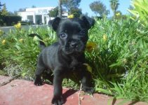 Frenchie Pug Dog Breed Information – All You Need To Know
