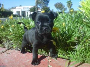 Frenchie Pug Dog Breed Information All You Need To Know